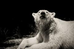 relaxed (bernd obervossbeck) Tags: blackandwhite bw monochrome fuji polarbear monochrom schwarzweiss eisbr animalportrait schwarzweis raubtier tierportrait berndobervossbeck nrnbergertierpark fujixt1