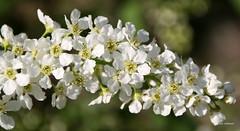 07-IMG_1380 (hemingwayfoto) Tags: wild natur pflanze blte strauch busch blhen weis