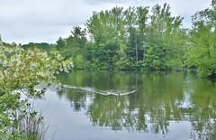 Pond at Biltmore Estate (stevelamb007) Tags: reflection nature geese pond nikon estate asheville northcarolina biltmore 18200mmvr stevelamb d7200