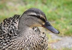 Mallard (careth@2012) Tags: portrait eye nature duck britishcolumbia wildlife beak feathers headshot naturereserve mallard naturepark