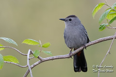 Gray Catbird (Brian Lasenby) Tags: catbird spring color northamerica nature season environment behaviour animal forest trees plant grandbend wildlife green gray perch bird dumetellacarolinensis ontario canada unitedstates lambtonshores places graycatbird