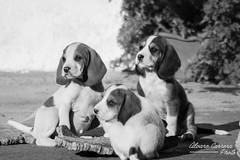 Camada de sabuesos (lvaro Carrera Photo) Tags: bw perros mascotas
