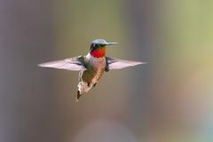 Hummingbird Challenge (Bryan O'Toole) Tags: camp ontario canada nikon wildlife resort northernontario algoma maylongweekend littlebuggers wakomata nikond810 wakomatalake nikkorafs200400mmf4vr snowshoecampresort