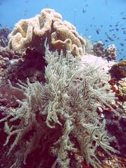 Koh Tao (Scuba Diving), Thailand (Jan-2016) 14-074 (MistyTree Adventures) Tags: ocean sea fish water coral thailand twins marine asia seasia underwater outdoor diving scubadiving kohtao gulfofthailand panasoniclumix