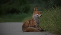 Fox oostvaardersplassen
