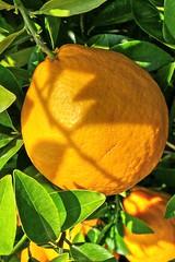 Grapefruit 02 (MJWoerner49) Tags: fruit grapefruit citrus sour tropicalfruit tropicalfruits cannero fruitsfood southernfruit