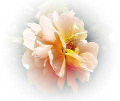 Rose Pat Austin (mamietherese1) Tags: ngc phvalue