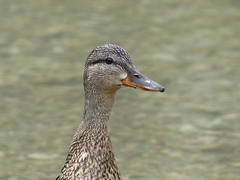 Zwitserse eend (smokingcrop) Tags: portrait smile smiling duck head swiss waterfowl eend zwitserse