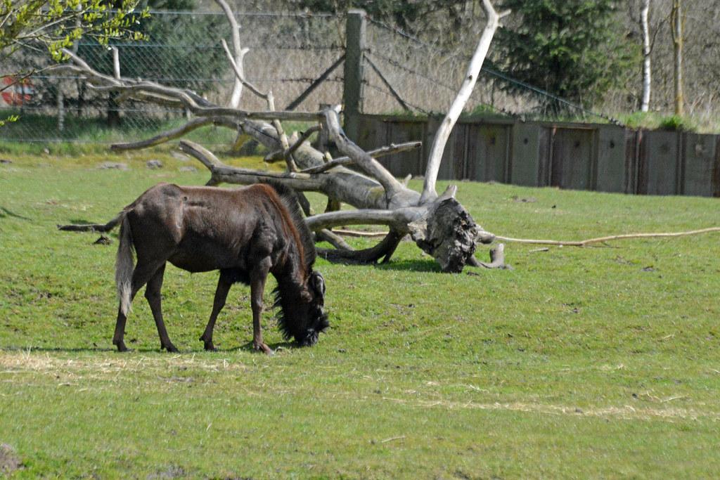større brystmuskler Givskud Zoo kort