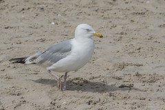 European herring gull (katyarud) Tags: travel bird birds larusargentatus usedom greatblackbackedgull larusmarinus laridae  charadriiformes    europeanherringgull