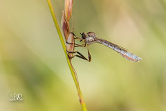 Leptogastre cylindrique - Leptogaster cylindrica (Domaine Des Oiseaux, Ariege) 21 juin 2016 (Christophe.R.) Tags: france macro canon 100mm 1320 printemps mouche 400iso ddo asile macro100mm mazres midipyrenes 80 domainedesoiseaux wwwlesamisdudomainedesoiseauxfr ladddo leptogastrecylindriqueleptogastercylindrica