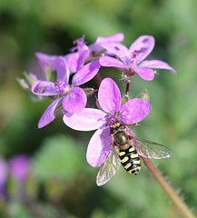 Seahouses Hoverfly! (RiverCrouchWalker) Tags: seahouses northumberland june 2016 spring hoverfly insect invertebrate eupeodesluniger flowers clifftop coast
