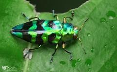 Jewel bug (Chrysobothris sp, Buprestidae)  10 mm size (Daniel Mclaren .:. Costa Rica) Tags: macro costarica beetle buprestidae jewelbug bugwatching chrysobothrissp