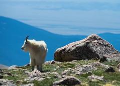 Mt Evans 2 (3rdtrick) Tags: colorado mountaingoats mtevans alienskin d800e nikon300f4pf 3rdtrickphotography