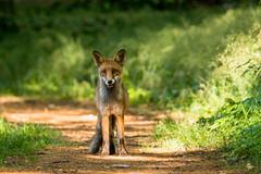 Grin fox (lunamtra) Tags: friedhof berlin grinning fuchs vulpesvulpes urbananimal