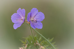 Two of a kind (microwyred) Tags: wildflowers meadowcranesbill