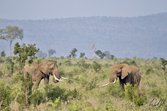 Elephants- Kruger National Park, South Africa (wsweet321) Tags: africa bird nature southafrica mammal birding safari research endangered krugernationalpark kruger satara bigfive skukuza knp lowersabie