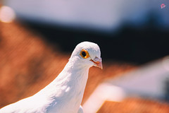 White Dove , White ... because it is pure and clear , Flee, because hides In her shyness And in his generosity.. (MiguelSantosi) Tags: bird birds freedom peace dove ave pomba animalportrait animalportraits portraitphotography whitedove birdlovers pombabranca photobirds