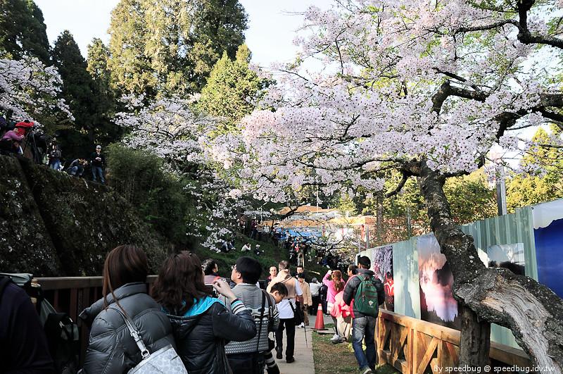 阿里山櫻花季34