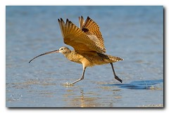 Long-billed Curlew (Nature Photos by Scott) Tags: wild bird nature birds florida wildlife birding rare curlew longbilledcurlew ftdesoto specanimal scotthelfrich scotthelfrichphotography
