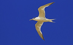 Fairy Tern : Bright and Shine !!! (Clement Tang ** Busy **) Tags: nature inflight wildlife seagull australia bluesky victoria avian birdwatcher stkildabeach portphillipbay autumnmorning closetonature fairytern sternanereis concordians