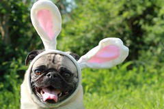 Here comes Peter Cottontail, hoppin' down the bunny trail! (WeeLittlePiggy) Tags: dog rabbit bunny puppy easter happy costume pug ears highqualitydogs