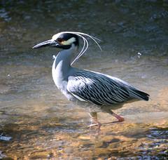 Yellow Crowned Night Heron (lanaganpm) Tags: birds yellowcrownednightheron