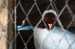 I'm watching You! (himagni) Tags: white cute bird eye beauty eyes nikon box pigeon cage prison lip dhaka bangladesh fahim d5100 fahim9n himagni nikond5100