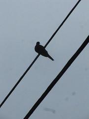 Wire (historygradguy (jobhunting)) Tags: ny newyork bird lines animal silhouette upstate powerlines highland dutchesscounty hudsonvalley