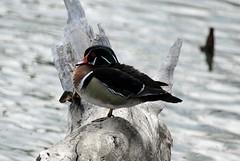 Wood Duck (K Fletcher) Tags: canada calgary bird alberta inglewood woodduck