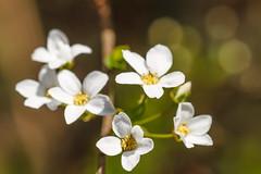 Blossoms (Karmen Smolnikar) Tags: white flower tree spring blossoms blooming