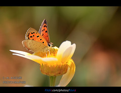 small Butterfly ( [ Libya Photographer ]) Tags: canon butterfly eos small sigma os 7d 1855 libya benghazi 70300