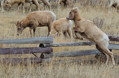 Counting (Rocky Mountain) Sheep (C-Dals) Tags: nikon wildlife alberta nikkor canmore rockymountainsheep 70300mmf4556gvr d5100 tp157