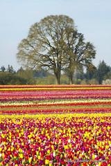 Kodachrome Colors (Gary Grossman) Tags: west festival oregon spring colorful tulips northwest farm pacificnorthwest bulbs kodachrome woodenshoe willamette willamettevalley tulipfarm mygearandme mygearandmepremium mygearandmebronze