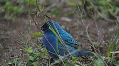 Indigo Buntings (neilfif11) Tags: usa birds florida migration digiscoping fortdesoto buntings indigobuntings videoscoping kowalensscope nikonv1