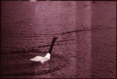ave territorial (Jimmy Beam Bukowsky) Tags: blackandwhite blancoynegro nature analog 35mm canon lens swan ae1 vivitar wetland 135mm bw400cn humedal analogo