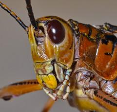 lubber grasshopper (mwjw) Tags: grasshopper ilobsterit