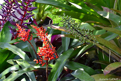 Many Colors (Annette LeDuff) Tags: blue orange flower nature flora purple top20nature bromeliad favorited matthaeibotanicalgardens faunaandflora annarbormi top20greenish flowerorfoliagedetails photossansfrontires natureselegantshots discoveryphotos aechmeafulgens whatistriveforinphotography addictedtonature worldwidetravelogue universeofnature orquideasbromelias freeadminworld arborsquare photoannetteleduff annetteleduff 06162012