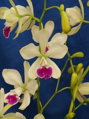 Catyclia El Hatillo 'Pinta' (jonlindstrom) Tags: orchid hybrid epicattleya catyclia