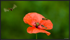 Le Coquelicot et ses invités (Alexandre LAVIGNE) Tags: france macro nature fleur insect rouge photography fly photo pentax flight poppy vol juillet butiner hoverfly insecte 2012 coquelicot saintquentin syrphe survol tamronspaf90mmf28 pentaxk20d engival aisnepicardie louisengival
