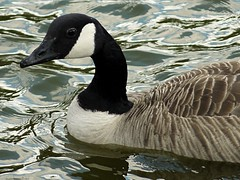 Canada Goose. Taken with Panasonic G2 + Tokina 60-300mm f4-5.6 Effective 600mm/f4 (Sang3eta) Tags: canada with taken goose panasonic tokina g2 600mm f456 60300mm szx