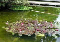 waterpartij (dietmut) Tags: flowers germany deutschland pond waterlily hamburg botanicalgarden bloemen 2012 duitsland vijver plantenundblomen waterlelie panasoniclumix botanischetuin dmcfx500 dietmut junijune yourfavorites85