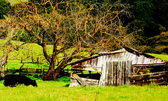 Cow Barn (Indiecent Exposure-Blockton Photography) Tags: wood old trees color green fall grass barn america graffiti countryside cow sketch spring rust paint farm tag country hill farming rustic era depression bombs aging dilapidated 1930 redevelopement destroyod