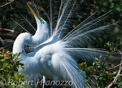 Don't I Look Marvelous (ChicagoBob46) Tags: greategret egret bird veniceareaaudubonsocietyrookery rookery amazingwildlifephotography naturesgallery thenaturesgreenpeace goldwildlife specanimal ngc autofocus allnaturesparadise mygearandme 100commentgroup npc mygearandmepremium mygearandmebronze natureoutpost thewondersofnature