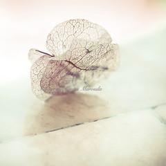 Butterfly wings (Aikaterini Koutsi Marouda aka kotsifi) Tags: shadow stilllife abstract flower composition vintage butterfly bokeh wing minimal petal ethereal nerve overexposed network delicate simple fragile canoneos40d kotsifi aikaterinikoutsimarouda boukamvilla