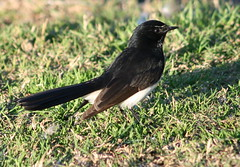 Willie wagtail (loobyloo55) Tags: bird nature animal fauna canon eos wildlife australia nsw animalia floraandfauna australianwildlife woywoy rhipiduraleucophrys williewagtail canoneos400d canon400d