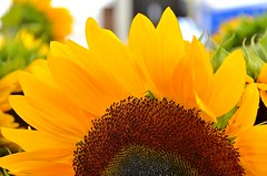 Himawari (JohnCramerPhotography) Tags: flower macro yellow flora sunflower