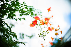 Summer passes and one remembers one's exuberance (moaan) Tags: life leica summer sky flower digital 50mm flora dof bokeh f10 utata flowering noctilux trumpetvine 2012 m9 trumpetcreeper inlife underthesky leicanoctilux50mmf10 leicam9