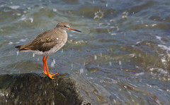 Splash!  (Redshank) (Alistair Prentice.) Tags: ireland sea bird beach nature newcastle wildlife tide down sealife coastal shore trust co identification prentice northern ulster redshank