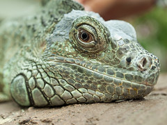 Green Iguana headshot (Melian, Grey Wanderer) Tags: macro green animal closeup zoo budapest iguana dpsgreen